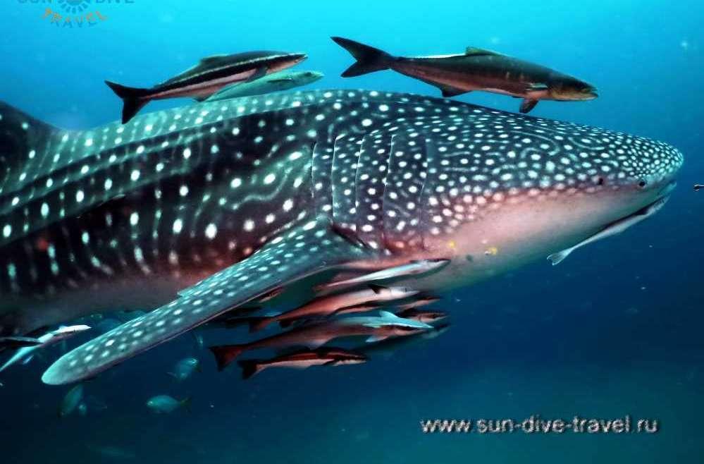 Китовая акула у берегов Пхукета