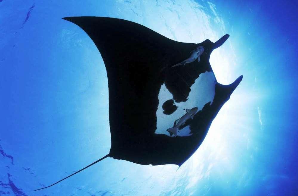 Манты – гигантские скаты встречаются во время дайвинга на Пхукете и Симиланских островах.